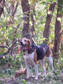 american_foxhound_2